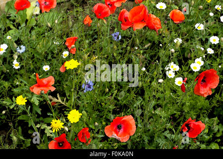 Wild flowers with water colour filter applied. - Stock Image