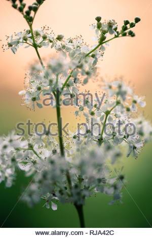 Blütenstand des echten Mädesüß, Filipendula ulmaria, Nahaufnahme, - Stock Image