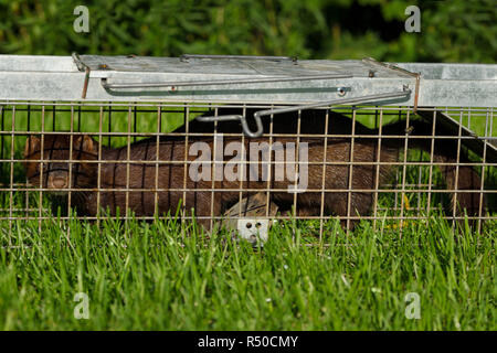 Long body of an American mink with brown fur is a pest of pond fish caught in a humane release trap on a grass lawn in Toronto - Stock Image
