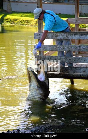 Crocodile feeding time at Gatorama, Palmdale, FL, USA - Stock Image