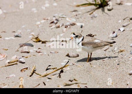 A Piping plover, Charadrius melodus, on Long Beach in Stratford, Connecticut. Adjacent to the Great Meadows Unit - Stock Image