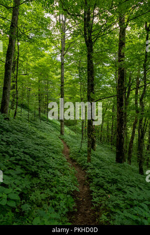 Green Summer Forest with Thin Dirt Trail in the Smokies - Stock Image