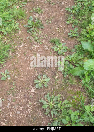 Leaves / foliage of Greater Plantain (Plantago major) on a country footpath. Sometimes foraged and cooked as a survival food. - Stock Image
