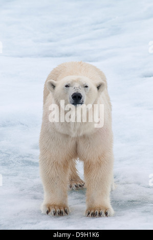 Adult Male Polar Bear, Ursus maritimus, on Olgastretet Pack Ice, Svalbard Archipelago, Norway - Stock Image