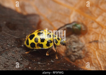 22-spot Ladybird (Psyllobora 22-punctata) crawling along dead ivy leaf in winter. Tipperary, Ireland - Stock Image