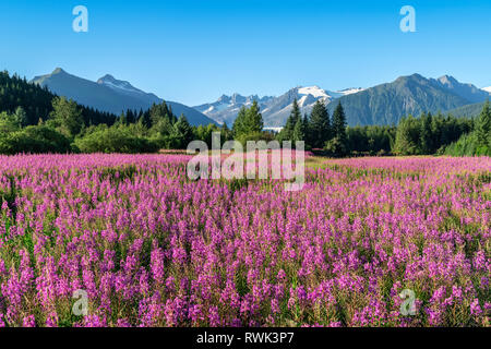 Fireweed (Chamaenerion angustifolium) blooms in a meadow, Mendenhall Glacier and Towers in the background, near Juneau,Southeast Alaska - Stock Image