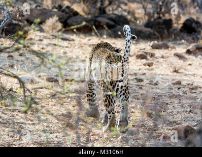 Rear view of an adult African Leopard, Panthera pardus, showing his scrotum and testicles, Buffalo Springs Game - Stock Image