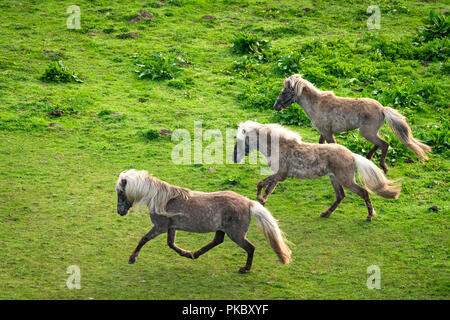 Three grey pony horses running wild on a green meadow in the spring - Stock Image