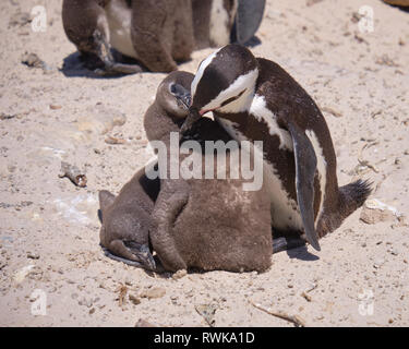 Adult african penguin preening the duvet of one of two juvenile chick under its care. Capture on a sunny beach in South Africa - Stock Image