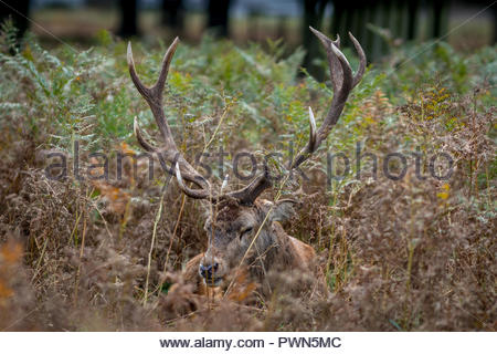A sad looking red deer stag hides alone in a mass of ferns and grasses during the autumn rut. - Stock Image