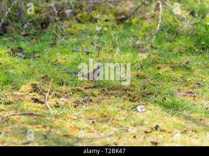 Dunnock (Prunella modularis)   Bodenham Herefordshire England UK. March 2019. - Stock Image
