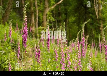 English Foxgloves in Dartmoor National park woodland - Stock Image