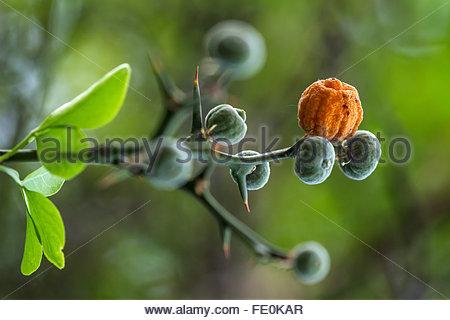 citrus trifoliata - Japanese Bitter Orange or Trifoliate Orange - Stock Image