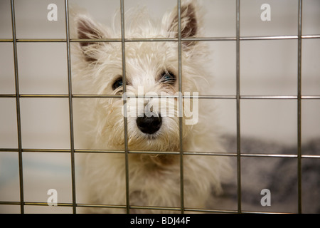 Westie Puppy in a cage in a Veterinary Hospital - Stock Image
