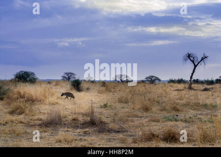 Hyaena is walking  early morning on Ruaha, Africa, safari - Stock Image