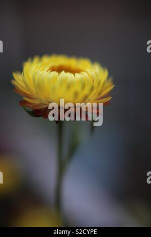 Closeup of dried flower - Stock Image