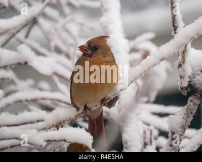 Oak Park, Illinois, USA. 26th November 2018. A female northern cardinal munches on seeds after an overnight snowstorm in this suburb just west of Chicago. Credit: Todd Bannor/Alamy Live News - Stock Image