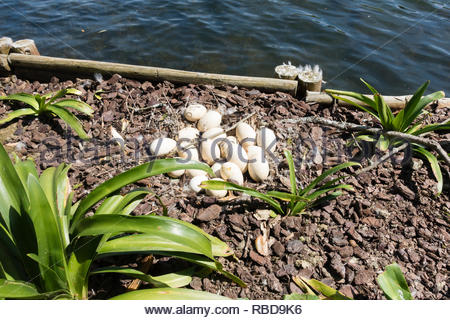 abandoned nest of goose eggs - Stock Image