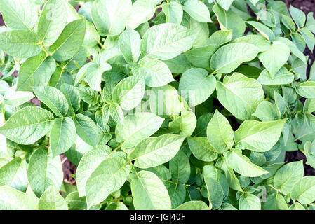 Fresh green organic potato plant in a local farm garden looking down from overhead - Stock Image