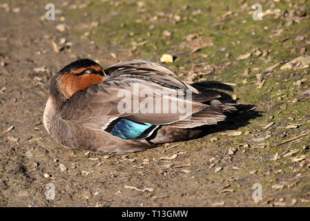A sleeping Philipping Duck (Anas luzonica) on the bank of a lake in Southern England) - Stock Image