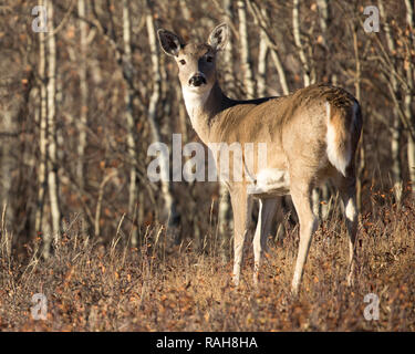 White-tailed Deer doe (Odocoileus virginianus) at the edge of aspen grove in aspen parkland - Stock Image