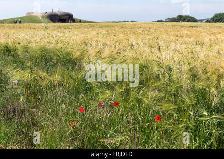 Poppies in a Field of Windblown Wheat in Front of the Longues-sur-Mer Gun Battery West of Arromanches-les-Bains, Normandy Coast, France, EU - Stock Image