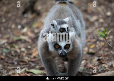 Madagascar ring-tailed lemur (Lemur catta) from the Monkeyland Sanctuary in Plettenberg Bay, South Africa. A free - Stock Image