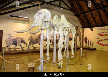 Inside the Letaba Elephant Hall,  Elephant Museum,Letaba  -These elephants were collectively known as the Magnificent - Stock Image