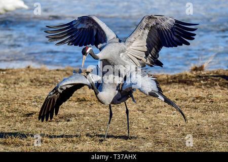 Eurasian cranes mating - Stock Image