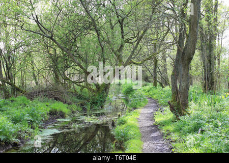 Woodland and Stream in RSPB Leighton Moss Nature Reserve, Silverdale, Lancashire, UK - Stock Image
