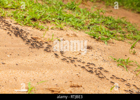 Ants, Tanzania, East Africa - Stock Image