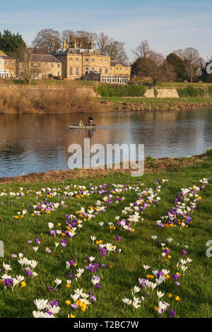 Late February in Kelso, Scottish Borders, UK - crocus flowers on the Tweed roverbank with the Ednam House Hotel beyond. - Stock Image