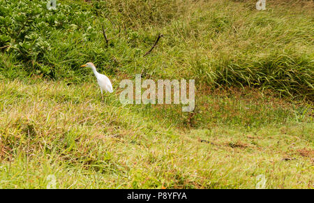 A Cattle Egret, Bubulcus ibis is a type of heron found in tropical climates - Stock Image