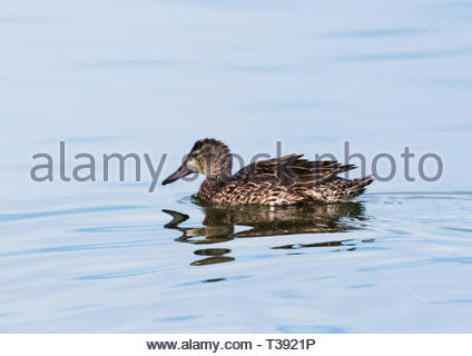 Blue-winged Teal, Anas discors, female swimming on pond in Arizona USA - Stock Image