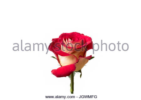Red and yellow rose special - Stock Image
