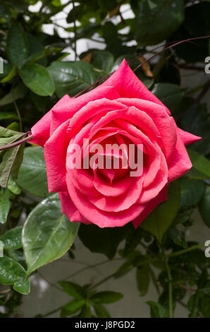 Rosa Leaping Salmon flowering in May in England UK - Stock Image