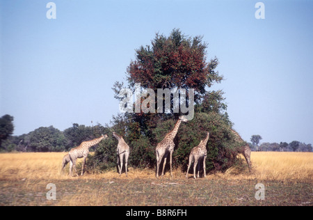 Giraffe browsing on large trees - Stock Image