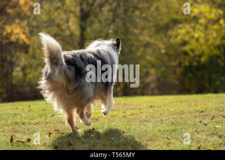 A beautiful collie with long hair out in nature - Stock Image