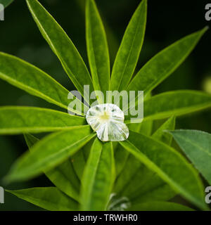 Raindrop captured on a Lupin leaf - Stock Image