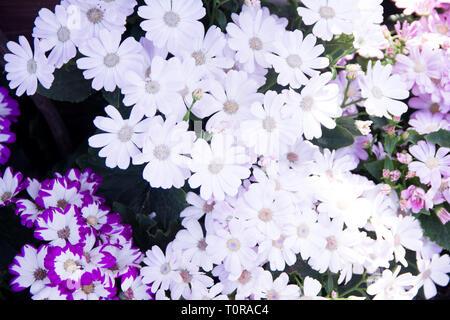Garden white flower - Stock Image