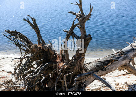 Weathered tree trunk and roots along the shore of Lake Glenville near Cashiers, North Carolina on an autumn afternoon. - Stock Image