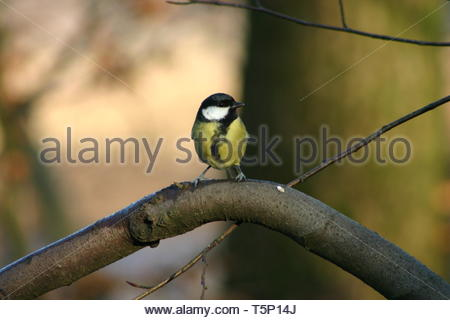 Great Tit (Parus major) on a branch with an out of focus background - Stock Image