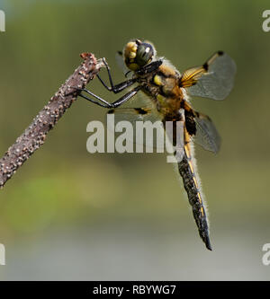 Closeup of a Four-spotted Skimmer dragonfly (Libellula quadrimaculata) from Anchorage, Alaska - Stock Image