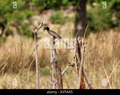 Grey hornbill Wechiau Northwestern Ghana - Stock Image