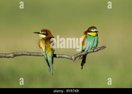 Male (left) and female right)  European bee-eaters, Latin name Merops apiaster, perched on a branch in warm lighting showing both front and back pluma - Stock Image