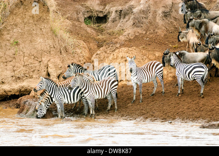Zebras contemplate crossing the Mara River in the Masai Mara of Kenya. - Stock Image