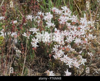 The whitish flowers and green succulent stems of English stonecrop (Sedum anglicum) growing in the pebbly soil of Dungeness. Dungeness Nature Reserve, - Stock Image