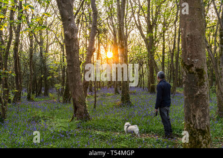 Man walking Pug dog in bluebell woods - Stock Image