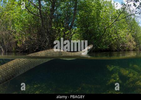 Grass snake (Natrix natrix) swimming in river, Olo, Alvao, Portugal, June. - Stock Image