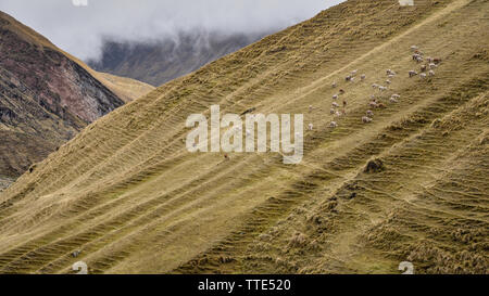 Flocks of Llamas grazing in the remote mountain slopes of Ancascocha, Cusco, Peru - Stock Image